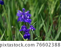 rabbiter iris, vegetation, vegetative 76602388