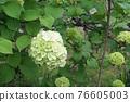bloom, blossom, blossoms 76605003