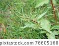 sorrel, rumex, bloom 76605168