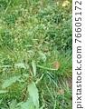sorrel, rumex, bloom 76605172
