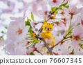 tiger, tigers, cherry blossom 76607345