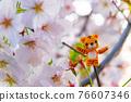 tiger, tigers, cherry blossom 76607346
