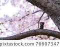 cherry blossom, cherry tree, bear 76607347
