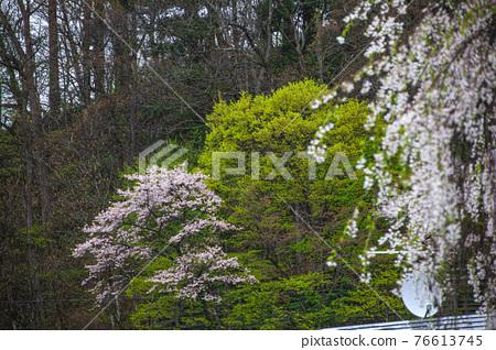 kakunodate, cherry blossom, cherry tree 76613745