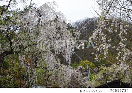 kakunodate, cherry blossom, cherry tree 76613754