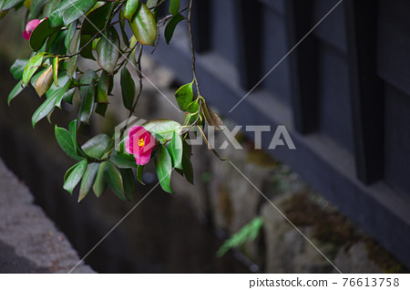 kakunodate, camellia, japanese camellia 76613758