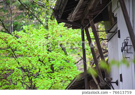 kakunodate, fresh verdure, tender green 76613759
