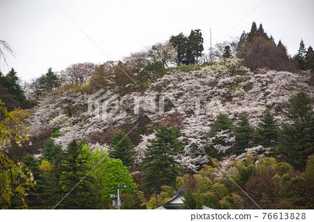 kakunodate, cherry blossom, cherry tree 76613828