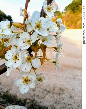 봄 꽃 76616448