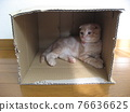 Cat entering cardboard 76636625