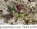 Red Anemone actinia in mediterranean sea by the shore 76641299