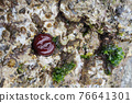 Red Anemone actinia in mediterranean sea by the shore 76641301