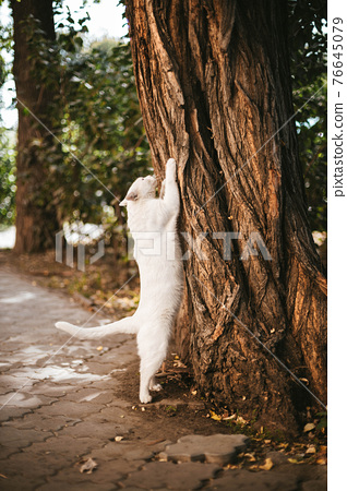 Big white cat is scratching an oak tree paired in the street.Animal scratches tree with claws 76645079