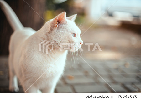 White angry white cat with Heterochromia looks to the side on the street 76645080