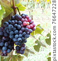 Glowing ripe berries of red grapes 76647228