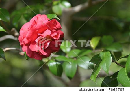 Camellia 76647854