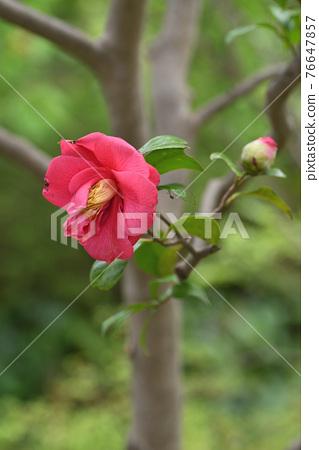 camellia, japanese camellia, theaceae 76647857