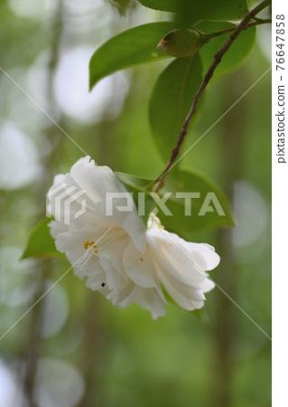 Camellia (Hasumi white) 76647858