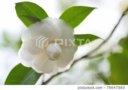 Camellia (Hasumi white) 76647860