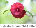 Camellia (red leaves hunting) 76647862