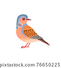Cute dove. European Turtle Dove. Wildlife scene with Streptopelia turtur is a member of the bird family Columbidae. Vector cartoon bird character flat style illustration isolated on white background 76650225