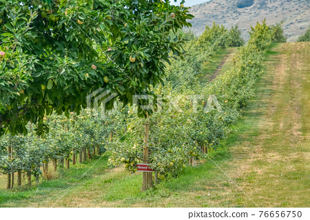 Orchard with apple trees on warm summer day 76656750