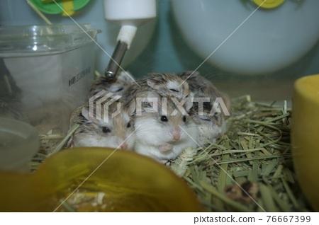 Hamster family 76667399