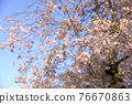 double weeping cherry trees, sunrise, morning sun 76670863