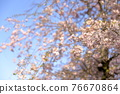 double weeping cherry trees, sunrise, morning sun 76670864