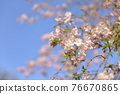 double weeping cherry trees, sunrise, morning sun 76670865