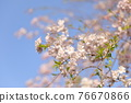 double weeping cherry trees, sunrise, morning sun 76670866