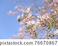 double weeping cherry trees, sunrise, morning sun 76670867