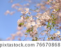 double weeping cherry trees, sunrise, morning sun 76670868