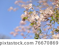 double weeping cherry trees, sunrise, morning sun 76670869