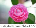 粉紅色的花 76674772