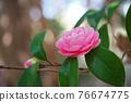 粉紅色的花 76674775