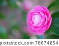 粉紅色的花 76674854