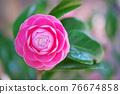 粉紅色的花 76674858