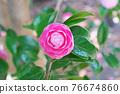粉紅色的花 76674860