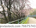 yae-beni-shidare, pink drooping cherry blossoms, double weeping cherry trees 76675743