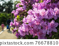 purple royal azalea blooming 76678810
