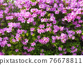 purple royal azalea blooming 76678811