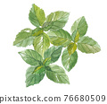 basil, herbal, foliage 76680509