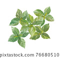 basil, herbal, foliage 76680510
