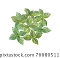basil, herbal, foliage 76680511