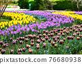 Tulip field 76680938