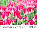 Tulip field 76680939