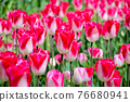 Tulip field 76680941