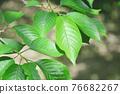 新鮮的綠色櫻桃葉 76682267