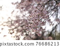 weeping cherry, weeping cherry tree, acer palmatum 76686213